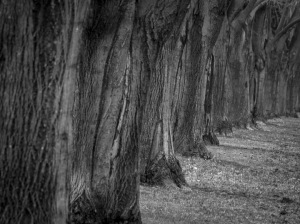 Black & White Sentinel Trees